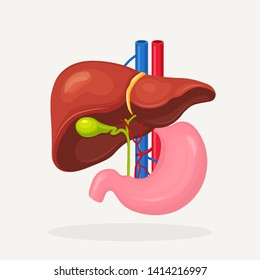 Stomach, liver icon isolated on white backgroung. Gallbladder, aorta, portal vein, hepatic duct. Medical science anatomy. Human internal organ. Digestive system. Vector flat design