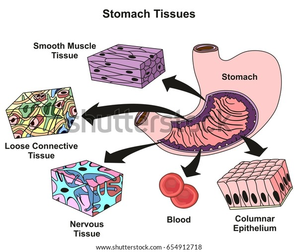stomach tissues types structure infographic diagram stock Stomach Tissue Diagram Labeled