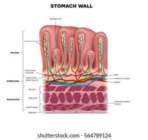 Stomach anatomy images stock photos vectors shutterstock stomach wall layers detailed anatomy beautiful colorful drawing on a white background ccuart Image collections