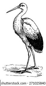 Stork, vintage engraved illustration. From La Vie dans la nature, 1890.