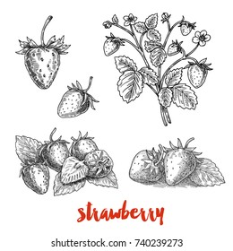 Strawberries, a branch of ripe strawberries, berries, hand-drawn graphics, sketch