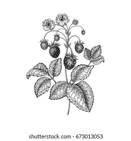 Strawberries. Realistic vector illustration plant. Hand drawing berries. Fruit, leaf, branch isolated on white background. Decoration products for health and beauty. Vintage black and white engraving