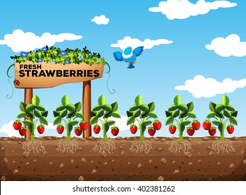 Strawberry field at daytime illustration