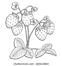Strawberry graphic bush black white isolated sketch illustration vector