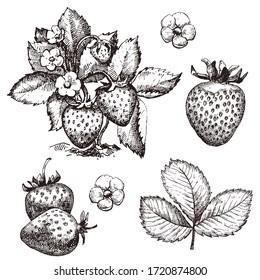 Strawberry hand drawn vector illustration