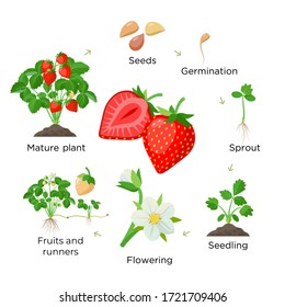 Strawberry plant growing stages from seeds, seedling, flowering, fruiting to a mature plant with ripe red fruits - set of botanical illustrations, infographic elements in flat design isolated on white