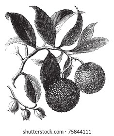 Strawberry Tree or Madrono or Arbutus unedo, vintage engraving. Old engraved illustration of a Strawberry Tree plant showing fruits (top) and flowers (bottom).
