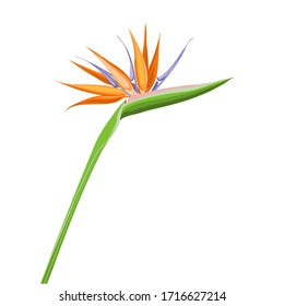 Strelitzia orange tropical flower isolated on white background. Exotic tropical flower of Strelitzia or bird of paradise. Vector illustration.