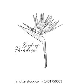 Strelitzia reginae black and white illustration. Bird of paradise inscription. Beautiful tropical plant, exotic flower freehand drawing. Botany banner decorative design element with calligraphy