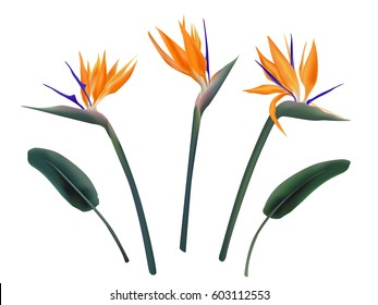 Strelitzia reginae flower vector illustration set isolated on white. Green leaves. orange and violet blossom realistic design collection. South Africa flowering plant, so called crane or paradise bird