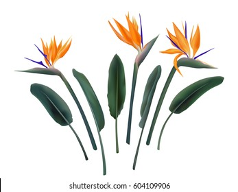 Strelitzia Reginae flower vector illustration collection isolated on white. Green leaves, orange and violet blossom realistic design set. South African plant, so called crane or bird of paradise.