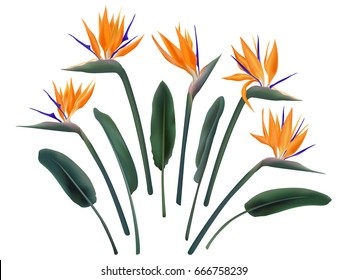 Strelitzia Reginae flower vector illustration set isolated on white. Green leaves, orange and violet blossom realistic design collection. South African plant called crane flower or bird of paradise.