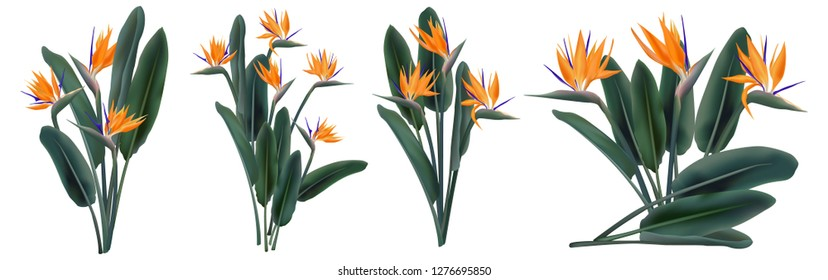 Strelitzia Reginae orange tropical flower bouquets vector set isolated on white. Green leaves, orange and violet blossom design set. South African plant, so called crane flower or bird of paradise.