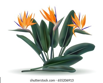 Strelitzia reginae tropical flower bouquet vector illustration isolated on white. Green leaves, orange blossom realistic design. South African plant also called as crane flower, bird of paradise.