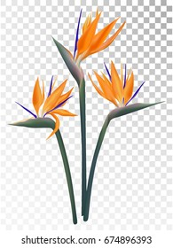 Strelitzia reginae tropical flower vector illustration isolated on transparent background. Orange bloom bouquet design. South African plant known as crane flower, bird of paradise