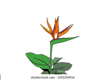 Strelitzia reginae tropical south africa flower in a pot isolated on white background. Vector cartoon illustration. Print t shirt.Plant known as crane flower, bird of paradise.Wild leaf.Exotic jungle.