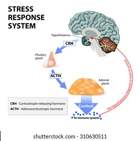 Stress is a main cause of high levels of cortisol secretion. Cortisol is a hormone produced by the adrenal cortex.