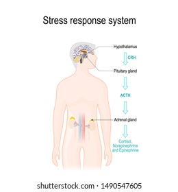 Stress response. Activation of the stress system. Stress is a main cause of high levels of adrenaline and cortisol secretion. hormones that produced by the medulla, and cortex of adrenal glands