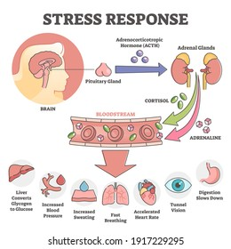 Stress response anatomical scheme with body inner reaction outline concept. Hormonal process with symptoms and description when ACTH, cortisol and adrenaline flows in bloodstream vector illustration.