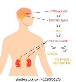 Stress response system. Endocrine medical diagram. Vector infographic in simple flat style.