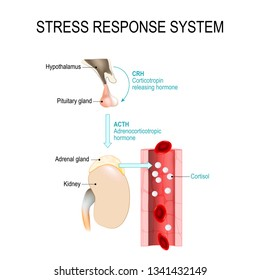 stress response system. fight-or-flight response is a physiological reaction that occurs in response to threat to life. vector diagram for medical, educational and scientific use.