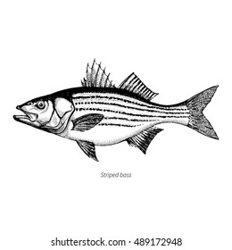 Striped bass hand drawn outline vintage vector illustration. Isolated on white background.