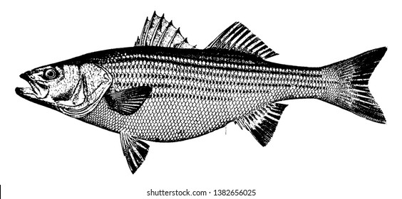 Striped Bass is a soft fleshed fish, vintage line drawing or engraving illustration.