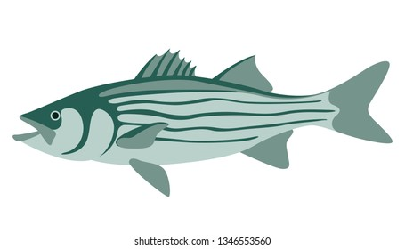 striped bass, vector illustration