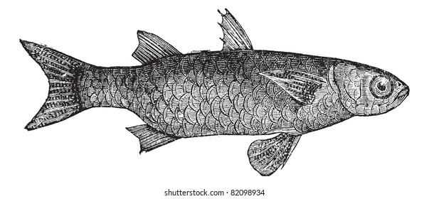 Striped Mullet (Mugil Lineatus) or flathead mullet fish, vintage engraved illustration. Trousset encyclopedia (1886 - 1891).