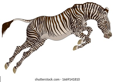 Striped stallion overcomes an obstacle. Zebra at the beginning of the jump. Colored vector illustration for safari and wildlife tourism.