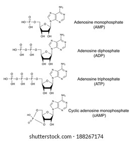 Structural chemical formulas of adenosine phosphates (adenosine monophosphate, adenosine diphosphate, adenosine triphosphate, cyclic adenosine monophosphate), illustration, vector, isolated on white