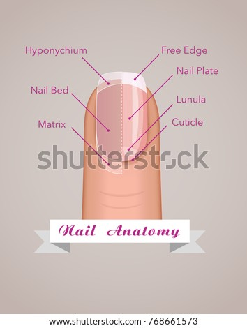 Structure Anatomy Human Nail Vector Stock Vector Royalty Free