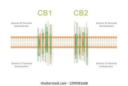 Structure of cannabinoid receptors CB1 and CB2, illustration about cannabis as herbal alternative medicine and chemical therapy, healthcare and medical science vector.