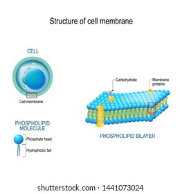Structure of cell membrane. close-up of cell, phospholipid bilayer, and phospholipid molecule with Phosphate head and Hydrophobic tail. vector diagram for medical, educational and scientific use