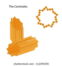 Structure of the centrioles