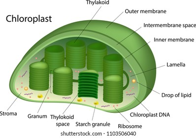 Structure of Chloroplast