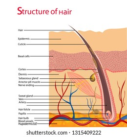 Structure and cycles of hair growth on a human head under a microscope close-up. Vector illustration. Hair under the skin.