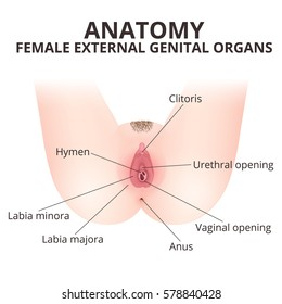 The structure of the female external genitalia, a medical poster female anatomy vagina