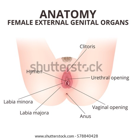 Structure Female External Genitalia Medical Poster Stock Vector