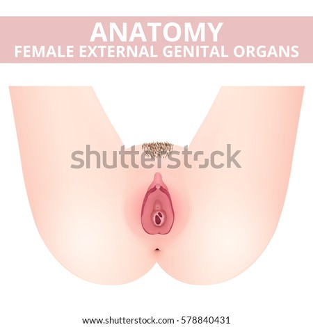 Structure Female External Genitalia Medical Poster Stock Vector ...