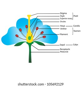 structure of the flower, vector diagram for teaching pupils and students