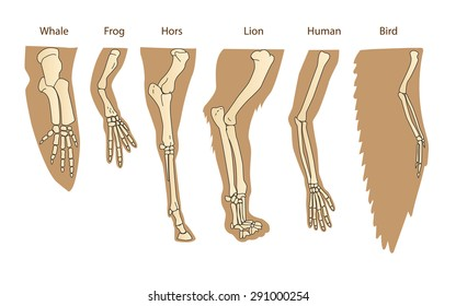 Structure Forelimb Of Mammals. Human Arm, Lion Forelimb, Whale Front Flipper, Bird Wing. Historical Illustrations Isolated Vector.