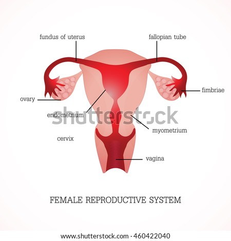 Structure Function Human Female Reproductive Anatomy Stock Vector