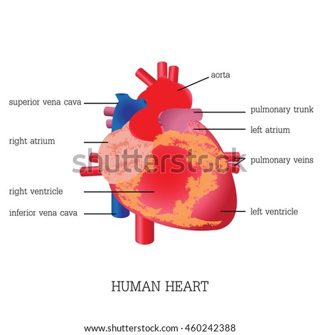 Structure Function Human Heart Anatomy System Stock Vector (Royalty ...