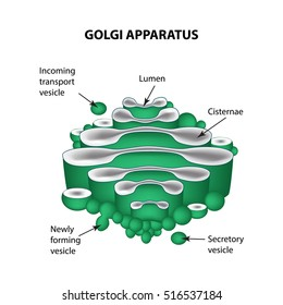 The structure of the Golgi apparatus. Infographics. Vector illustration on isolated background.