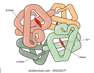 Structure of the haemoglobin (hemoglobin) molecule showing alpha and beta chains, heme groups and iron atoms.