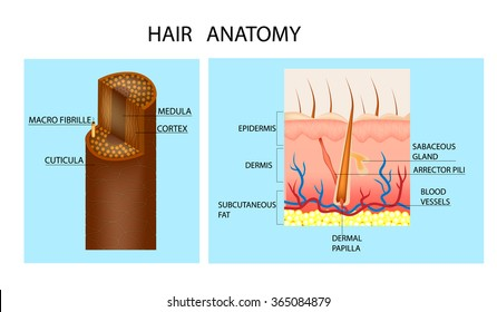 Structure of the hair. Detailed medical illustration. Hair anatomy and hair follicle.