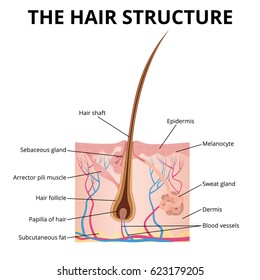follicle diagram Hair structure