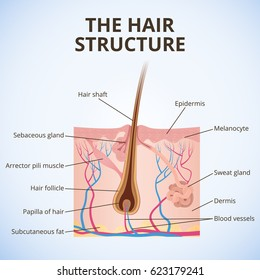 sweat gland images stock photos vectors shutterstock rh shutterstock com Urinary System Diagram Hair Follicle Diagram