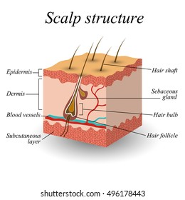 The structure of the hair scalp, anatomical training poster. Vector illustration.